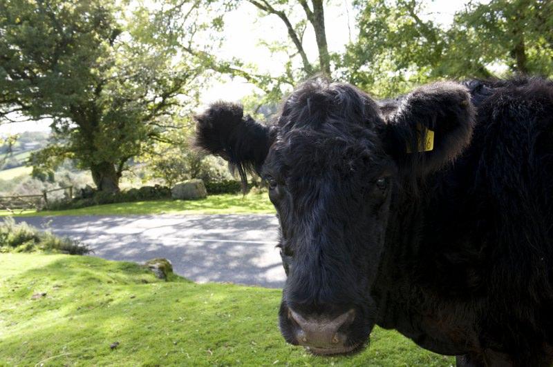 Cow_800x532