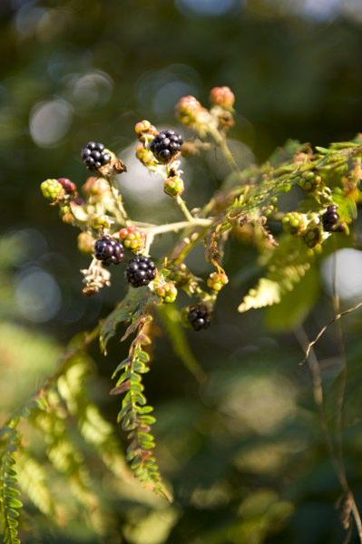 Berries_1_399x600