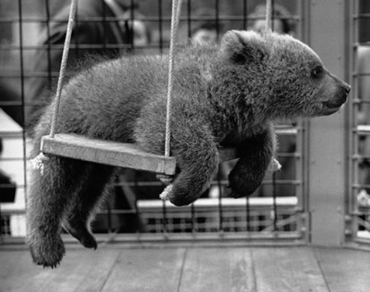 Swing-bear